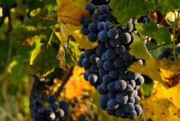 Schwarze-Trauben-Weißwein